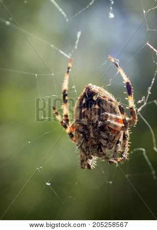 Underside, belly of common garden spider in web with green bokeh background