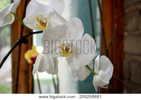 Streaked orchid flowers. Beautiful orchid flower and bud