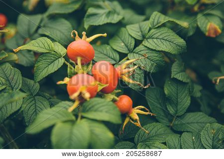 rose hips in the park in autumn