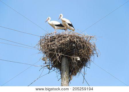 family of white storks in the nest