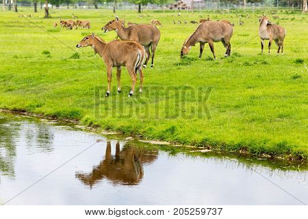 Few beautiful deers in the park with reflection in the river