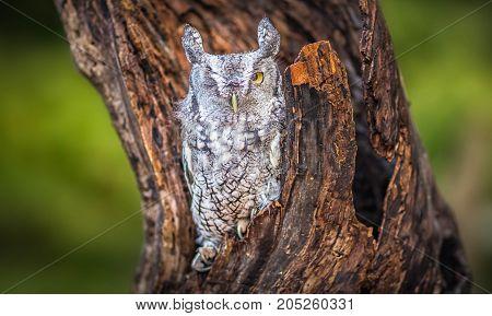 A beautiful alone screech owl sitting on a tree