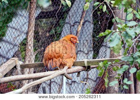 Brown chicken sits on a wooden branch on the street
