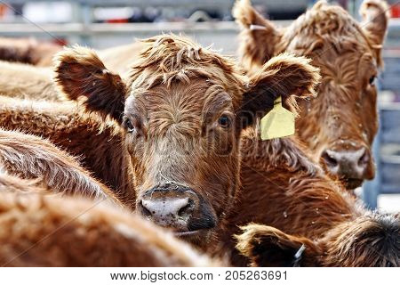 Close-up of the heads of curious Red Angus cattle during feeding time in an outdoor pen - dust from the hay and outdoor enclosure swirl in the air around their heads.