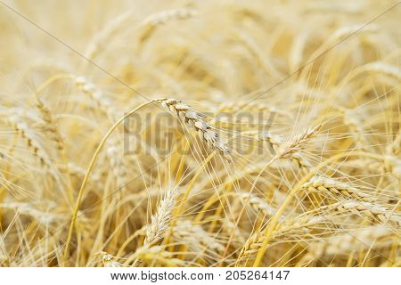 One high tall ripe full-grain cereal close-up on a hot summer afternoon against a yellow rye field. Golden field of ripe cereals. For backdrop use
