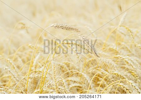 Summer afternoon. Golden field of ripe cereals. Several high tall ripe full-grain cereal close-up against yellow rye field. Rural background