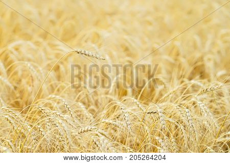 Golden field of ripe cereals. One high tall ripe full-grain cereal close-up on a hot summer afternoon against a yellow rye field. Rural background
