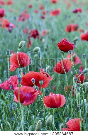 Field of red poppy flowers on a green background