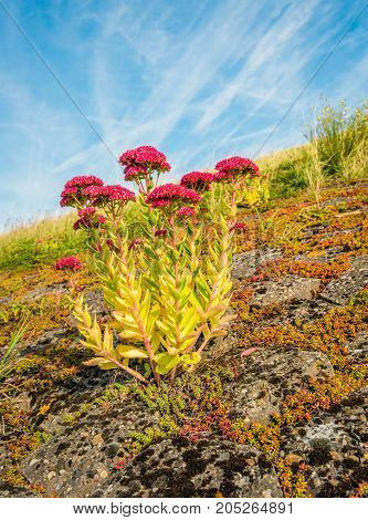 Closeup of red blooming orpine flower on the of a Dutch dike and against the blue sky on a early morning of a sunny day in the late summer season.