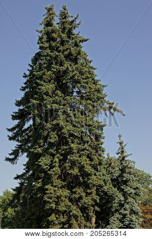 High spruce in the park against the sky
