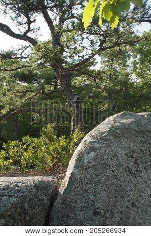 Scruffy pine at top of granite hill