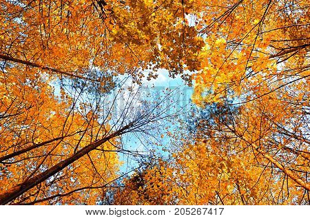 Autumn tree tops of forest autumn trees with golden autumn leaves extending to the blue cloudy sky. Autumn forest landscape. Cloudy autumn landscape scene with autumn trees. Autumn background