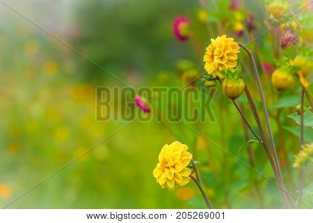 Amazing beautiful bokeh background with bright yellow and purple dahlia flowers. A colorful floral nature greeting or invitation card with a copy space for text. Garden