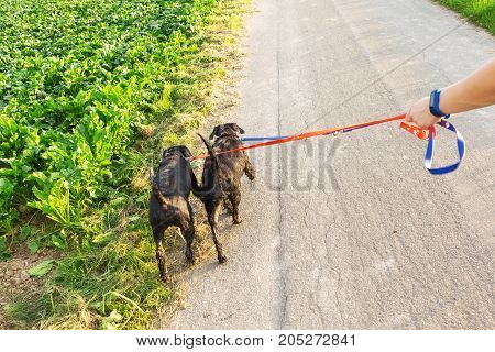 Person Walks With Two Dogs At The Leash