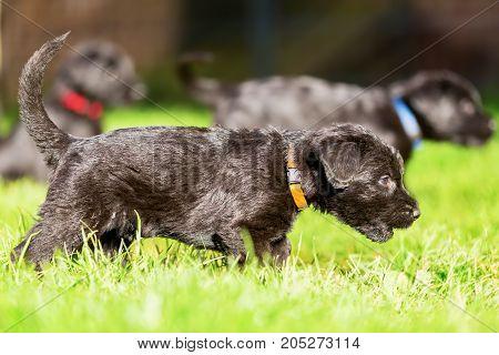 Schnauzer Puppy Walks On The Meadow