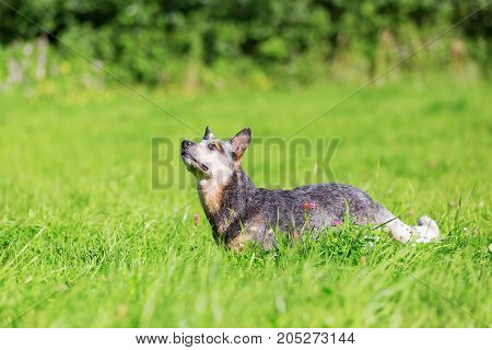 Australian Cattledog On The Meadow Looks Up