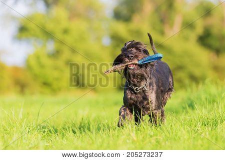 Schnauzer Dog Runs With A Treat Bag Outdoors