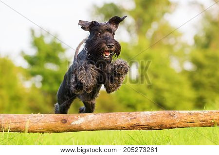 Standard Schnauzer Jumps Over A Wooden Beam
