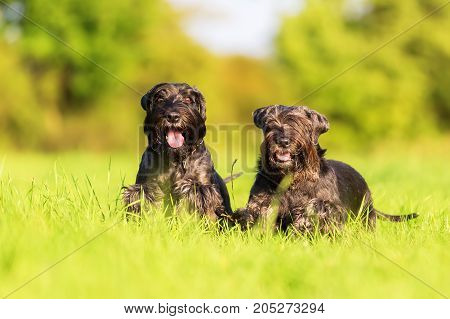 Two Schnauzer Dogs Starts To Run