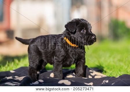 Portrait Of A Schnauzer Puppy