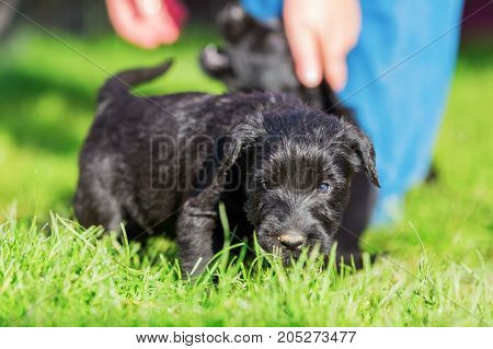 Schnauzer Puppy Explores The Lawn