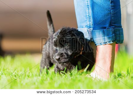 Schnauzer Puppy Stands At The Legs Of A Woman