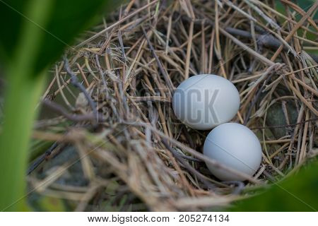 Nest of a bird in the nature. Dove eggs in the nest.