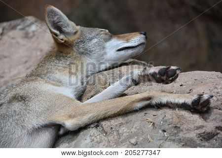 A Jackal Lying Down To Rest In A Zoo