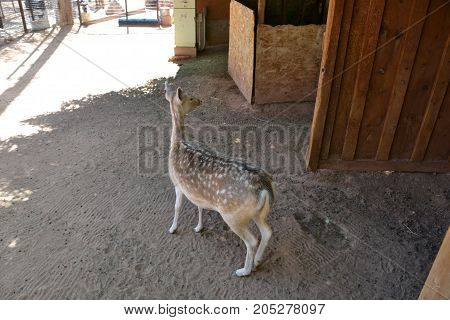 adorable fallow deer acting a little silly