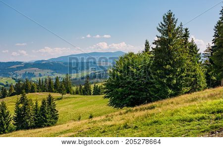 Spruce Forest On Rolling Hills