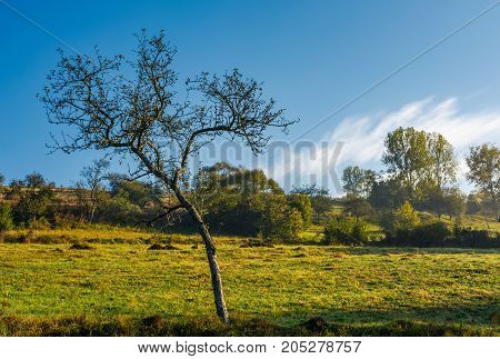 leafless apple tree in autumn orchard. lovely scenery on fresh autumnal morning