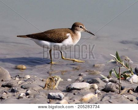 Sandpiper.Most waders refers to a distant migrants. Flights (the record is 11 thousand non-stop flight from Alaska to New Zealand is known for small Veretennikov) allow waders to populate all the major land areas of Earth except Antarctica. During migrati