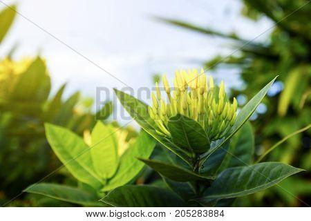 Spike flower yellow in nature ( Common Name Ixora coccinea, Rubiaceae)