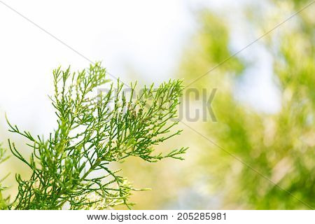 Thuja Outdoors . In a park in the nature