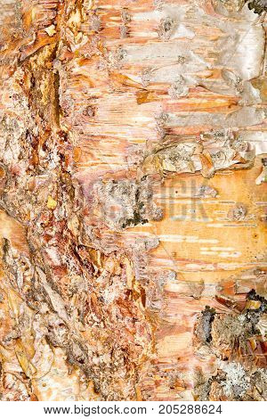 Background of bark . In a park in the nature