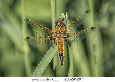 A close up full length view from the top showing a four spotted chaser dragonfly on a blade of grass