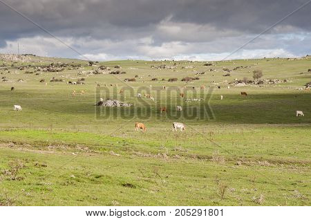 Cows grazing in Dehesa de Navalvillar, Colmenar Viejo, Madrid, Spain