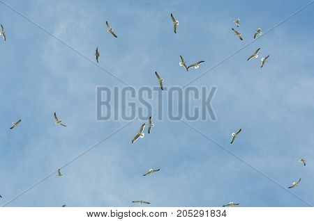 Flock of Yellow-legged gull Larus michahellis in flight. Photo taken in Colmenar Viejo Madrid Spain