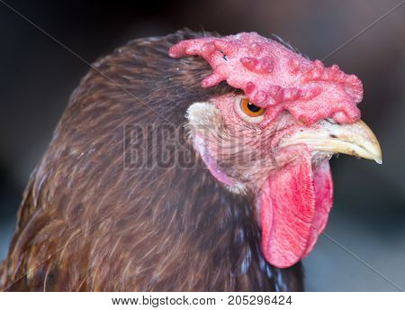 portrait of a chicken . In a park in the nature