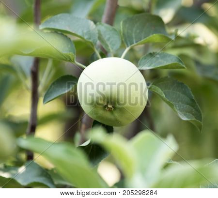 green apple on a tree branch . In a park in the nature