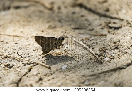 A small brown Israeli butterfly sits on the ground