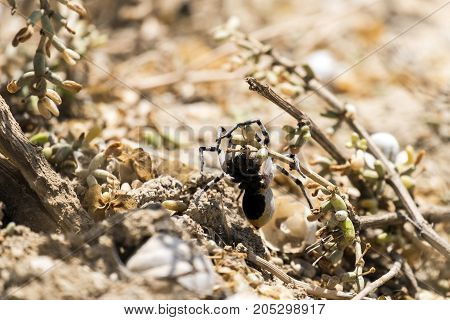 Apulian tarantula creeping along branches (Lycosa tarantula)