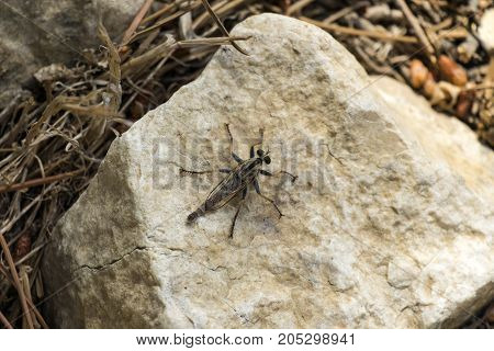 Assassin flies from the robber fly family sits on a stone (Asilidae)