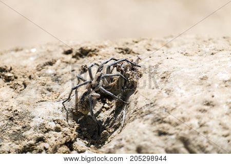 Apulian tarantula sits on a stone surface (Lycosa tarantula)
