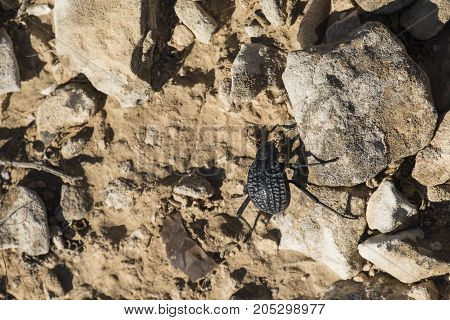 Beetle from the family of darkling beetles (Pimelia bipunctata) / View from above