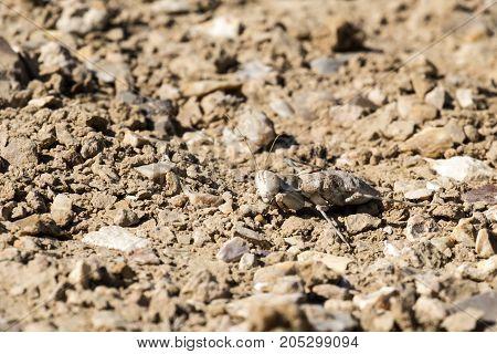 Desert mantis in the Negev desert (Eremiaphila brunneri)