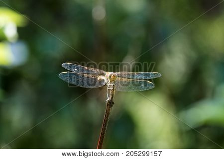 Female tawny dragonfly the ruddy darter sits on a branch (Sympetrum sanguineum)