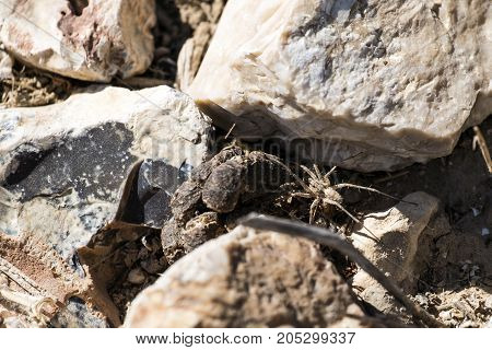 Labyrinth spider hides between stones (Agelena labyrinthica)