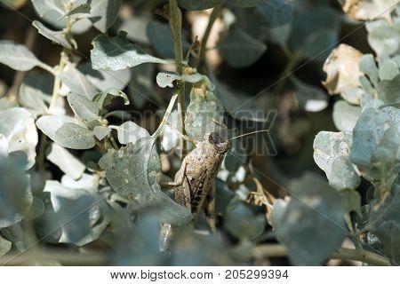 Migratory locust sitting among the green foliage of the bush (Locusta migratoria)