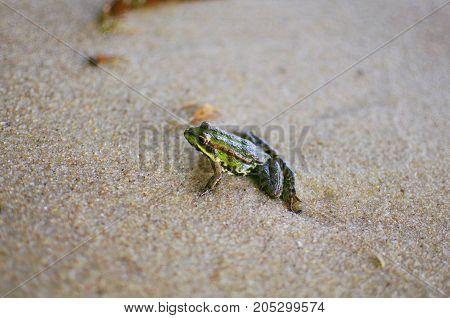 Little Frog On The Sand On The Sea Beach. Sand Background. Amphibian Macro Photography